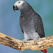 African Gray Parrot Poster