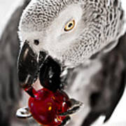 African Grey And Cherry  Poster