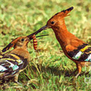 African Hoopoe Feeding Chick Poster
