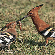 African Hoopoe Feeding Young Poster