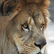 African Lion #8 Poster