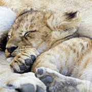 African Lion Cub Sleeping Poster