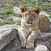 African Lion Cub Poster