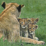 African Lion Cubs Study The Photographer Tanzania Poster