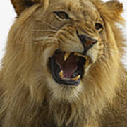 African Lion Male Growling Poster by San Diego Zoo