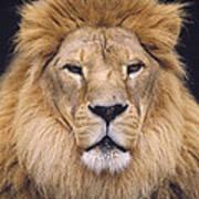 African Lion Male Portrait Poster