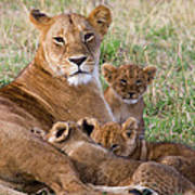 African Lioness And Young Cubs Poster