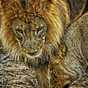 African Lions 6 Poster