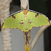 African Moon Moth Poster
