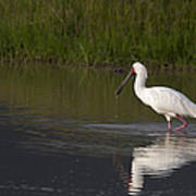 African Spoonbill   #0202 Poster