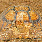 African Spur Thigh Tortoise Poster