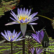 African Waterlily Dazzle -- Plus Dragonfly Poster
