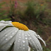 After The Rain Daisy Poster