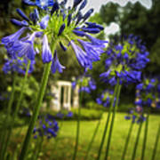 Agapanthus In The Garden Poster