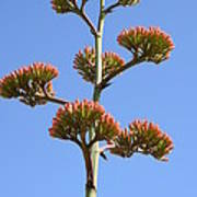 Agave Flowers II Poster