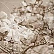 Antique Magnolia Bloom Poster
