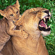 Ah Being A Mother Is Wonderful African Lions Wildlife Rescue Poster