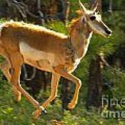 Airborn Pronghorn Poster