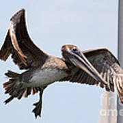 Airborne Brown Pelican Poster