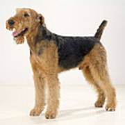 Airedale Terrier Dog Poster