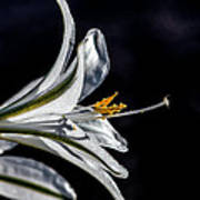 Ajo Lily Close Up Poster by Robert Bales