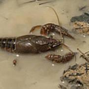 Alabama Crawdaddy Taking A Swim Poster