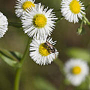 Alabama Wildflower Robin's Plantain - Erigeron Pulchellus Poster
