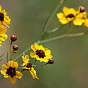 Alabama Wildflowers Coreopsis Tinctoria Tickseed Poster