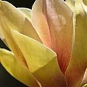 Alabama's Tulip Magnolia Poster