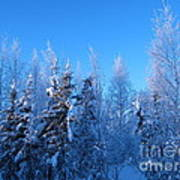 Alaska Sunrise Illuminating Spruce Trees Among Birches Poster