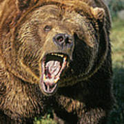 Alaskan Grizzly Poster