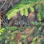 Alaskan Wild Cat Poster