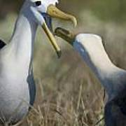 Albatross Perform Mating Ritual Poster