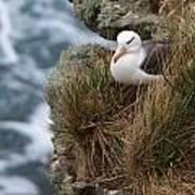 Albatross Rookery Poster