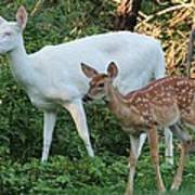Albino Doe And Fawn Poster