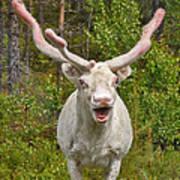 Albino Reindeer Poster