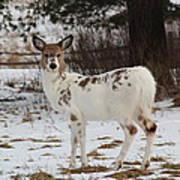 Albright The Piebald Deer Poster