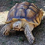 Aldabra Tortoise Poster