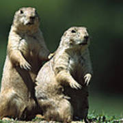 Alert Black-tailed Prairie Dogs Poster