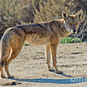 Alert Coyote Poster