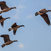 Aleutian Geese Poster