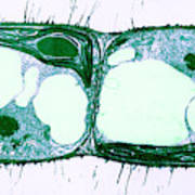 Algae Cell Division, Cylindrocapsa Poster