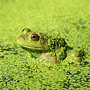 Algae Covered Frog Poster