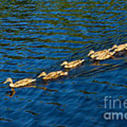 All Ducks Lined Up Poster