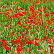 All Red Flower Beautiful Poster