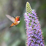 Allen Hummingbird On Flower Poster