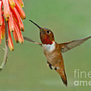 Allens Hummingbird At Flowers Poster