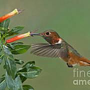 Allens Hummingbird Feeding Poster