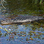 Alligator Swimming In Blue Water Poster