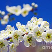 Almond Blossom Poster by Carlos Caetano